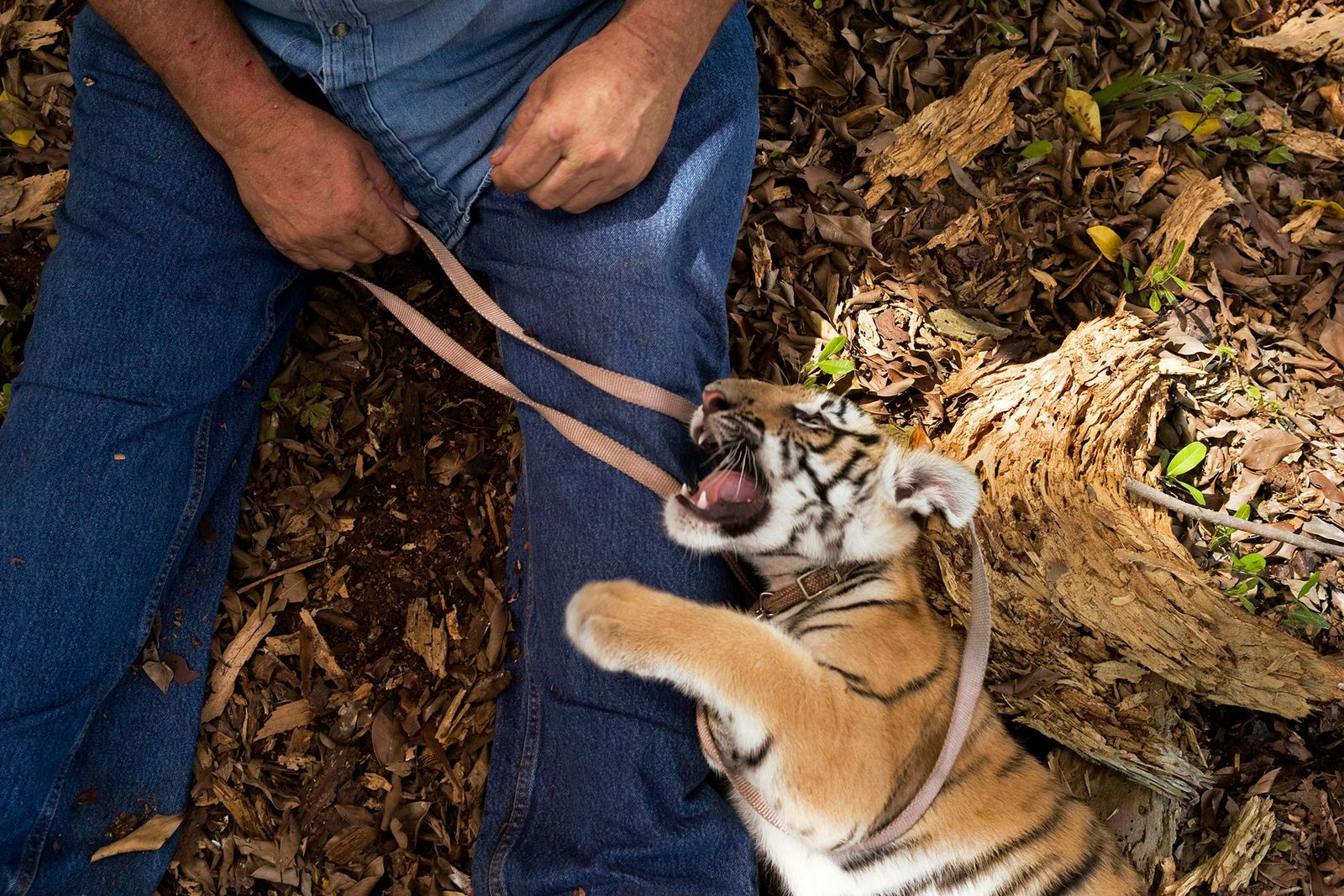 Cría de tigre