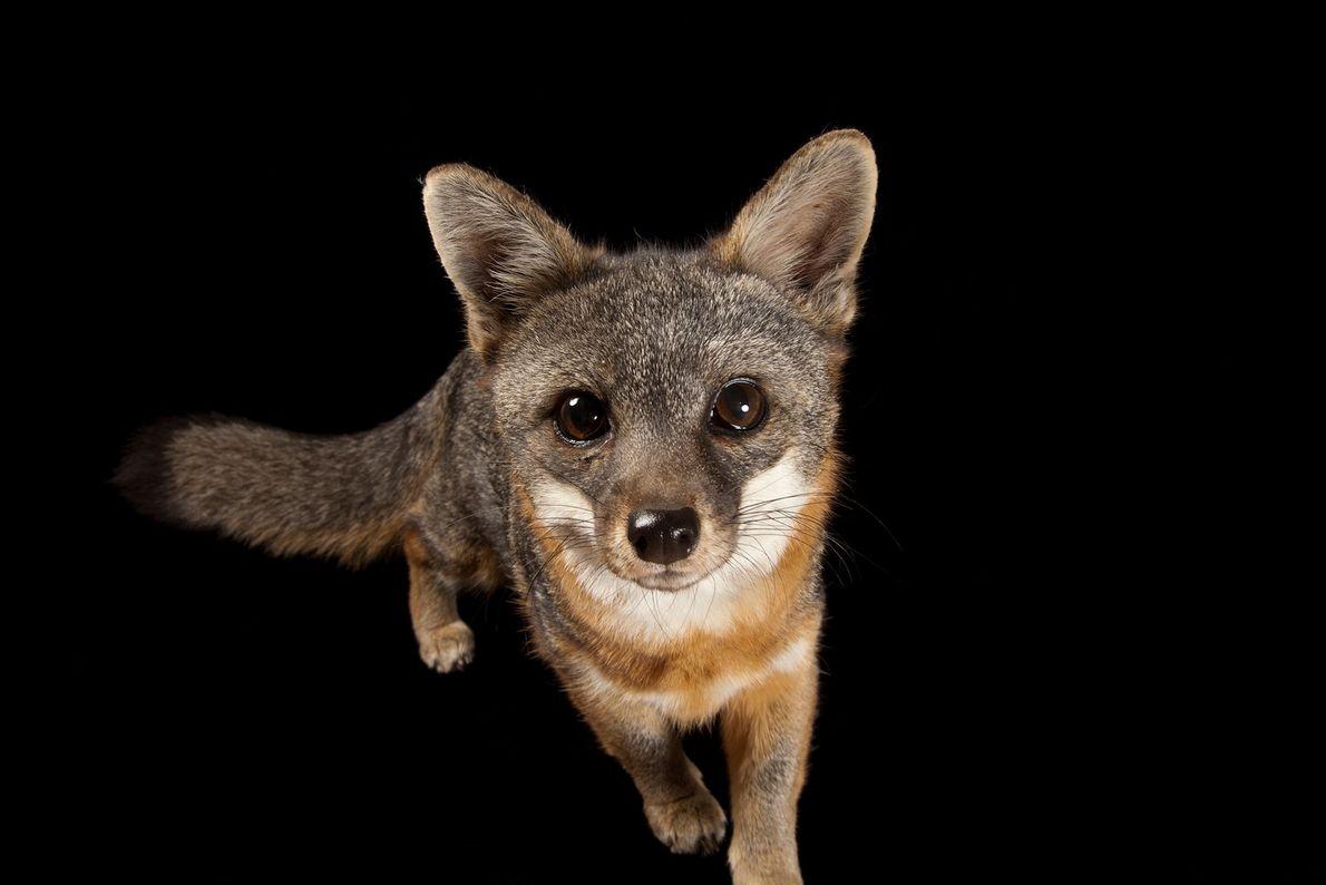 Un zorro de la isla Santa Catalina