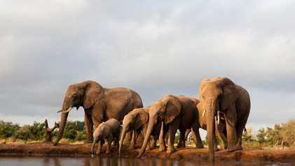 87 elefantes han sido asesinados por furtivos en Botsuana