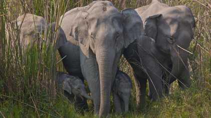 El peligroso y rápido auge del comercio de piel de elefante