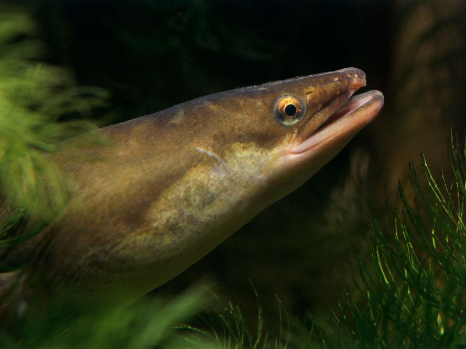 Los ríos contaminados con cocaína, un peligro para las anguilas