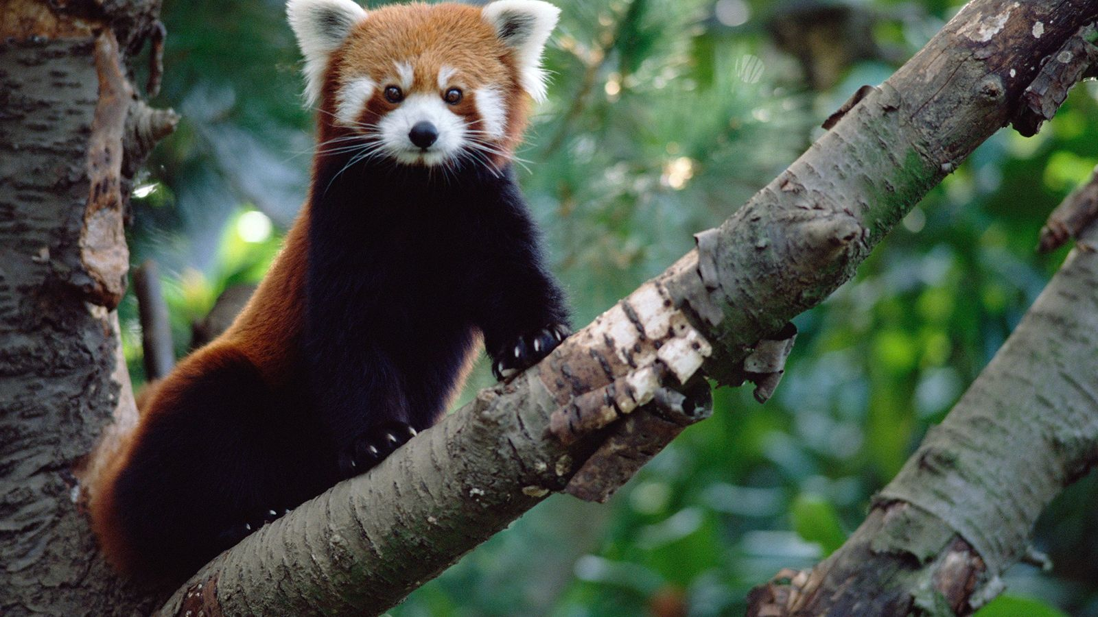 Panda rojo