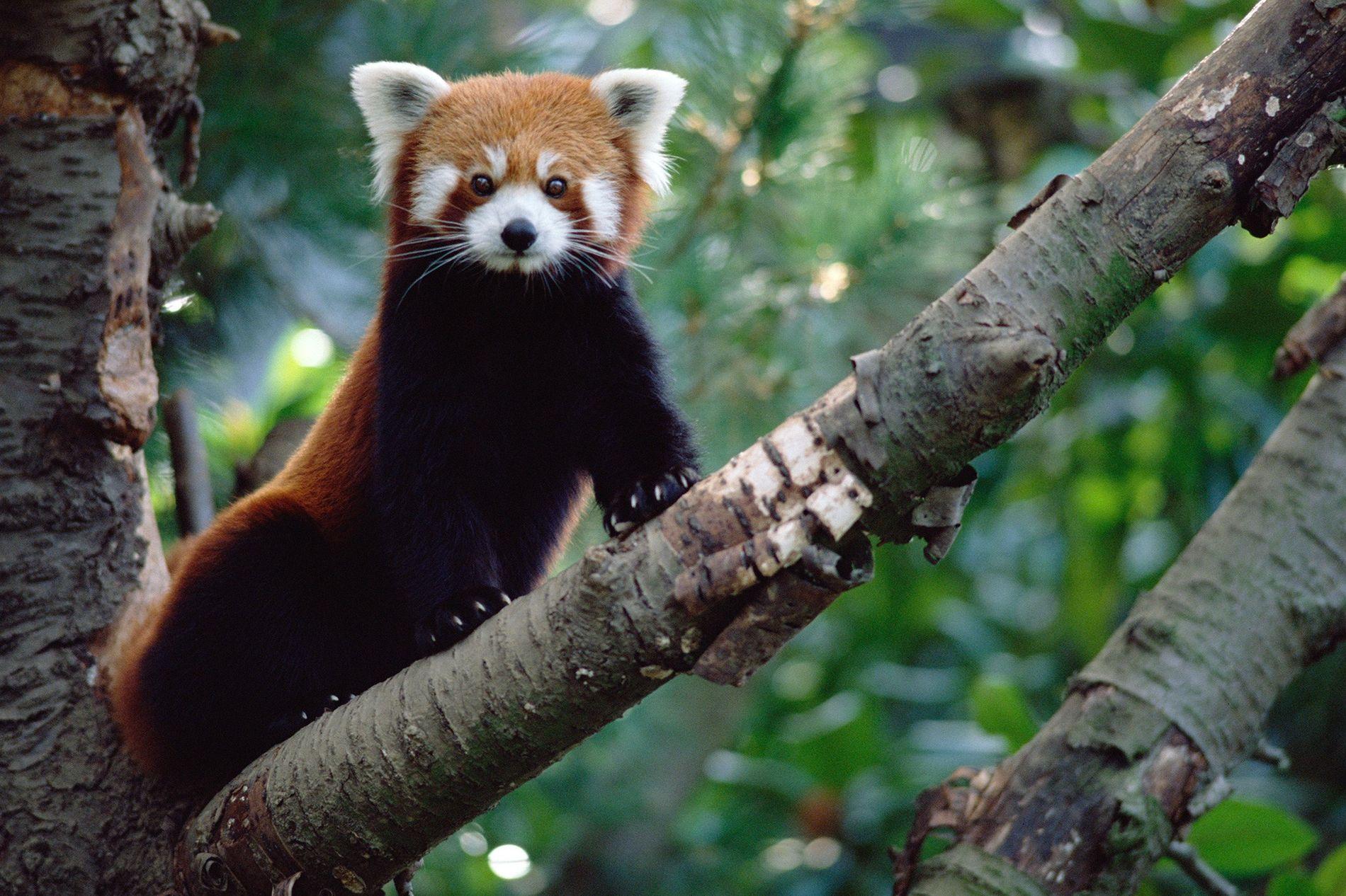 Es ilegal comercial con pandas rojos (Ailurus fulgens) que, pese a ser adorables, tienen garras afiladas y pueden emitir un olor penetrante por la glándula anal.