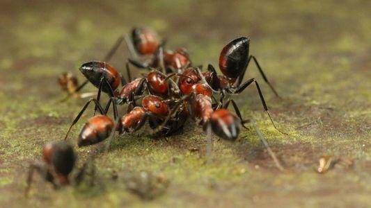 Esta hormiga «explota» para proteger a sus compañeras
