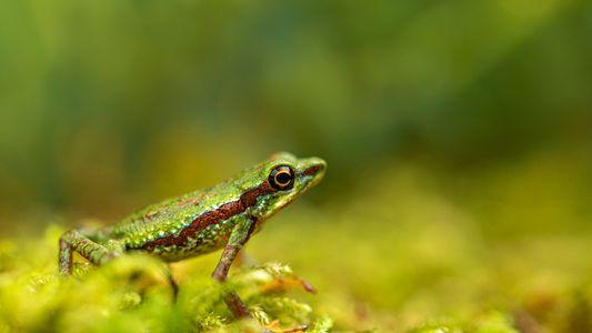 El redescubrimiento de un sapo arlequín considerado extinto podría significar que aún hay esperanza