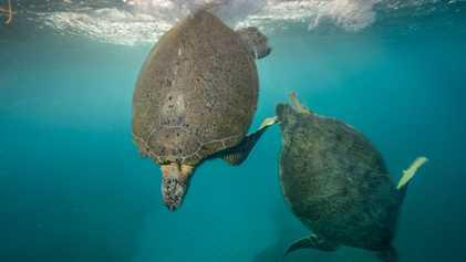 La mayoría de las tortugas marinas nacen hembras por el calentamiento: ¿sobrevivirán?