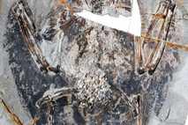 Archaeorhynchus spathula