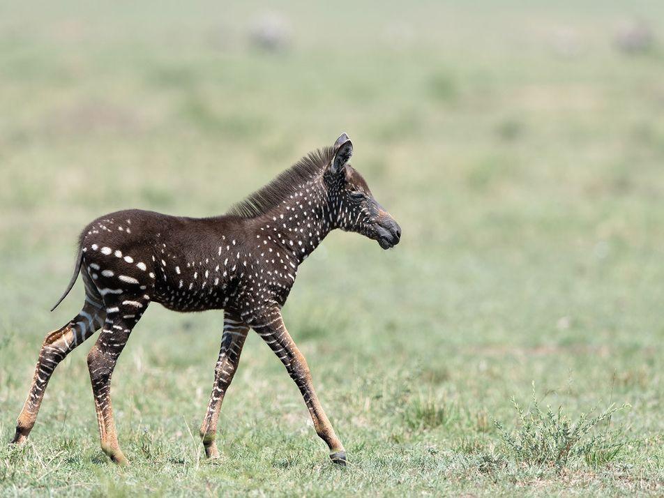 Fotografían en Kenia un raro potro de cebra con lunares en vez de rayas