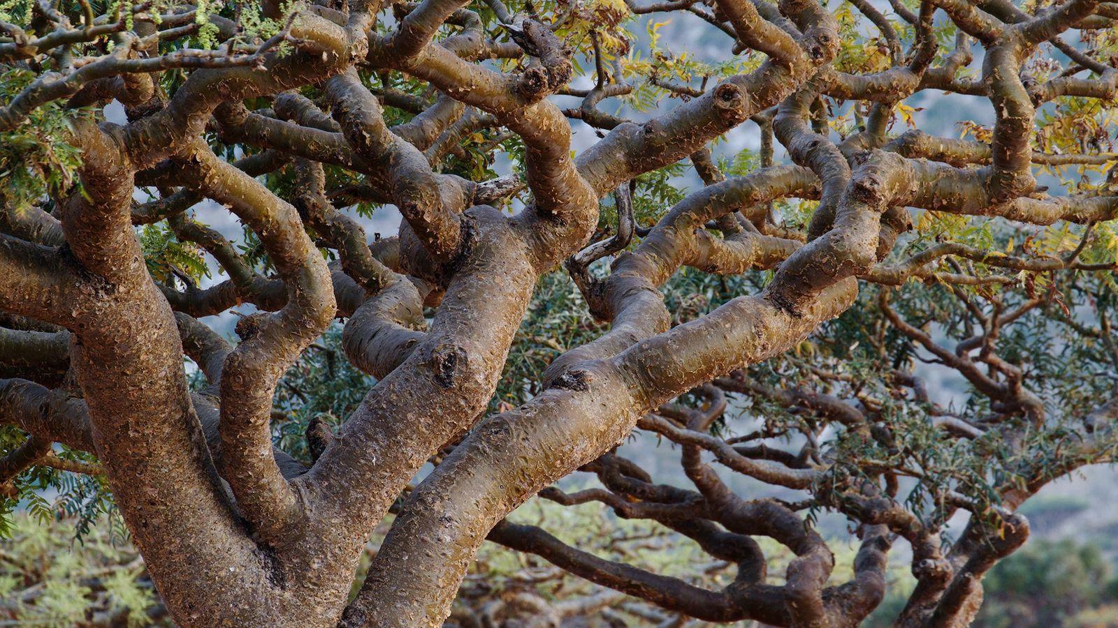Árboles de incienso