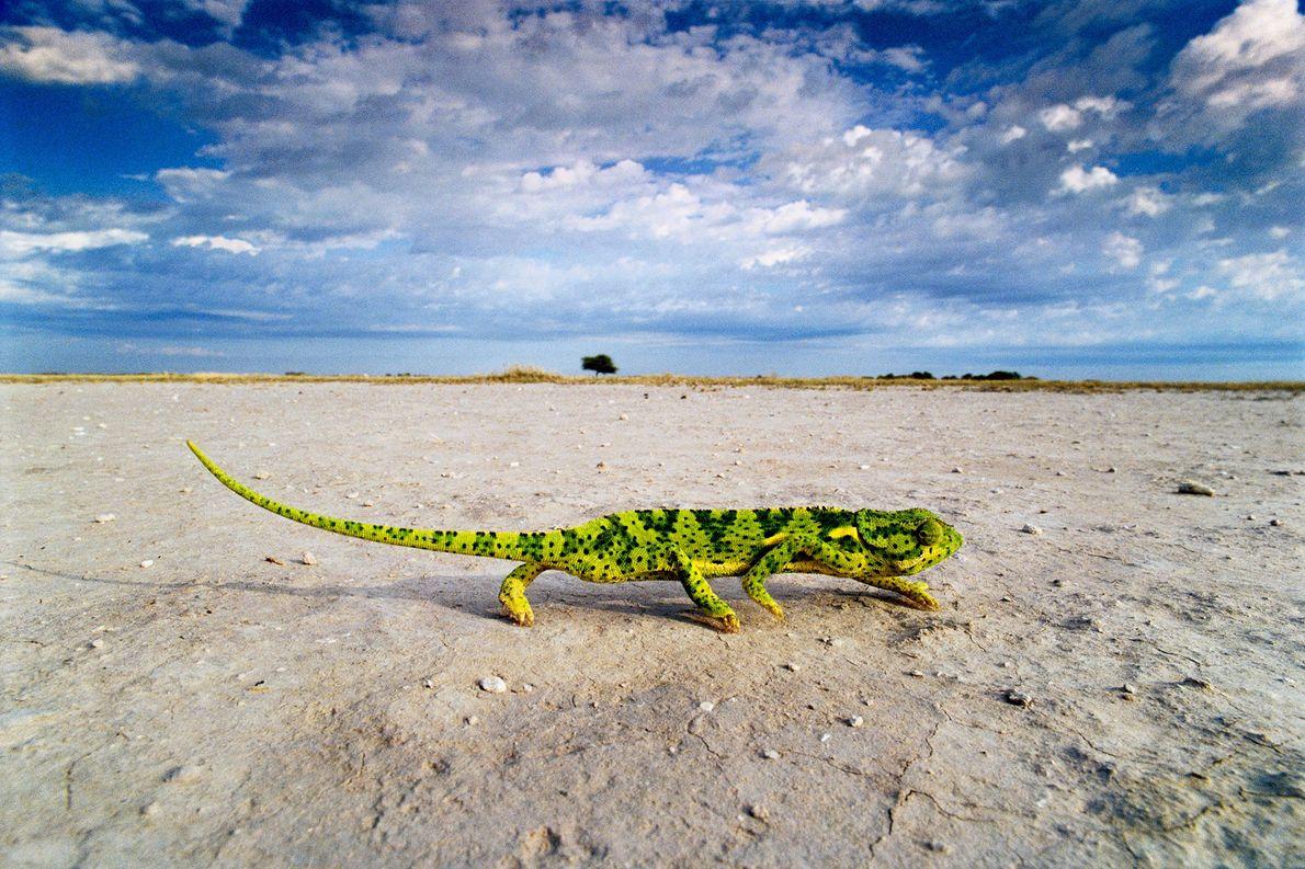 Un camaleón orejero atraviesa un salar en Makgadikgadi Pans, Botsuana.