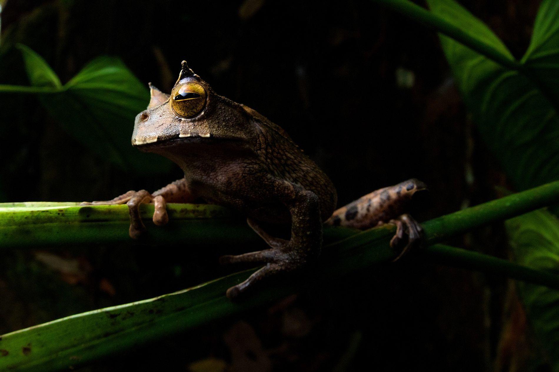 La rana marsupial cornuda (Gastrotheca cornuta) es un anfibio nocturno que vive en las copas de los árboles de las selvas tropicales en buen estado. Su continuidad en el oeste de Ecuador se complica por la pérdida de hábitat, sobre todo por los cultivos de palma aceitera, la tala y la minería.