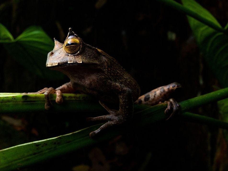 Reaparece en Ecuador una rana marsupial cornuda considerada extinta