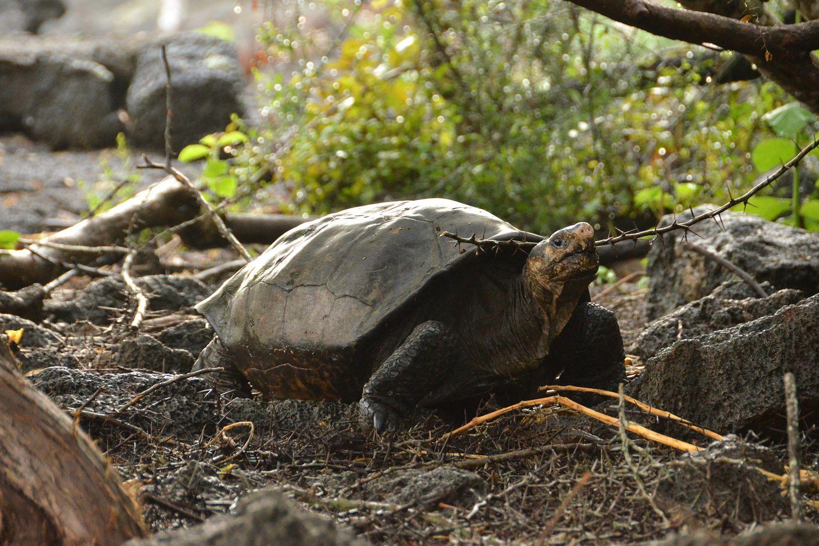 Tortuga gigante de Fernandina