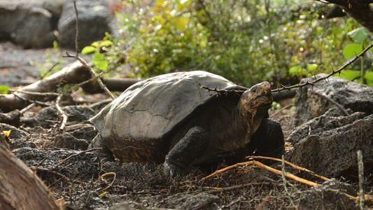 Redescubren tras un siglo una tortuga de las Galápagos considerada extinta