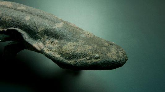 Identifican una nueva especie de salamandra gigante como el anfibio más grande del mundo
