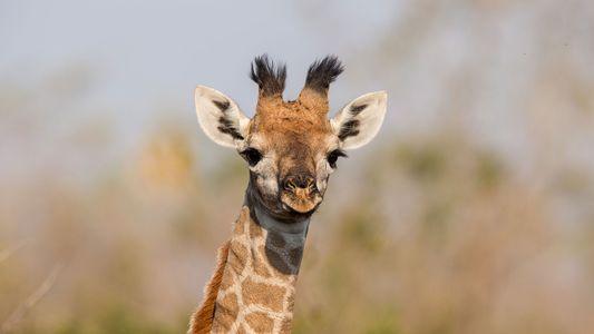 Las crías de jirafa heredan las manchas de sus madres