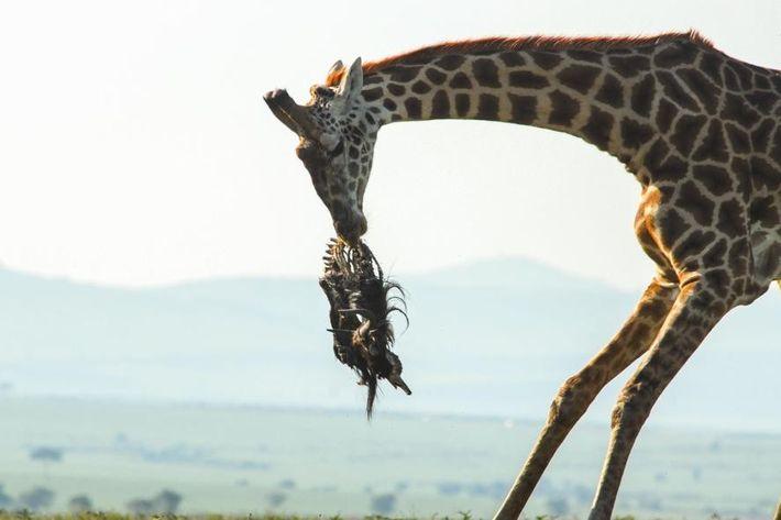 Jirafa con el cadáver de un ñu