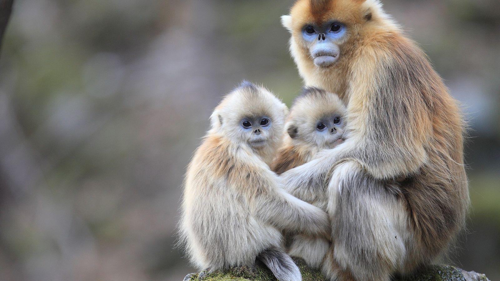 Monos langures chatos dorados