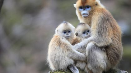 Estos monos amamantan a las crías de otras hembras. ¿Por qué?