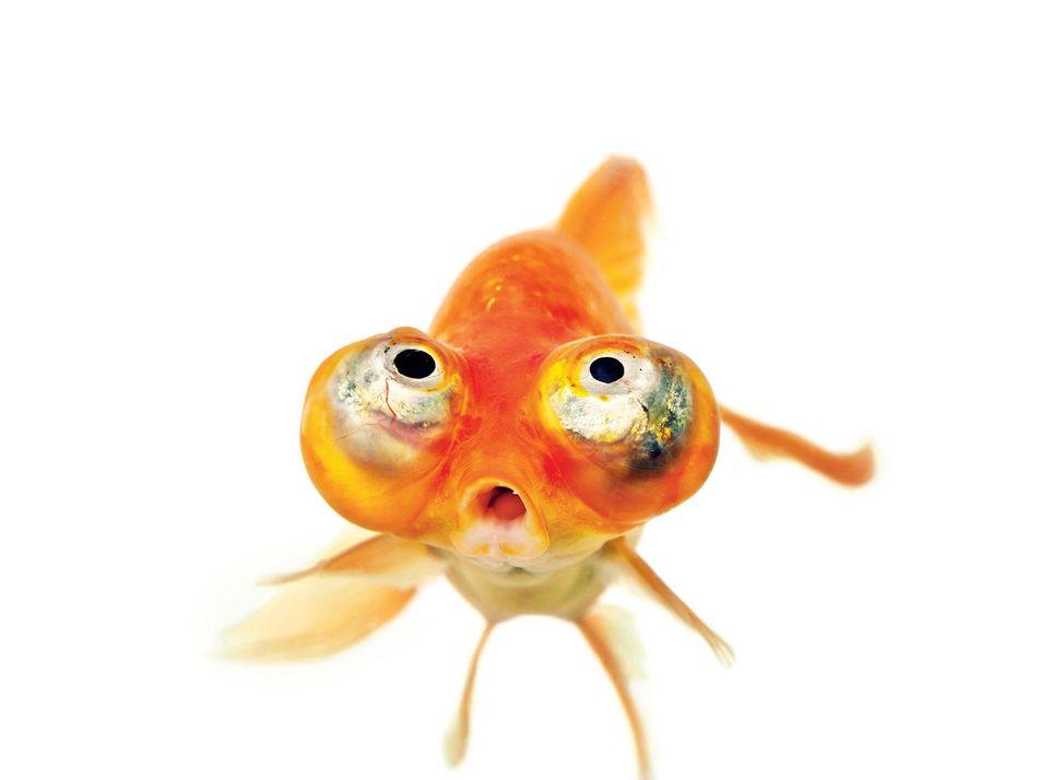 La épica historia del humilde pez rojo
