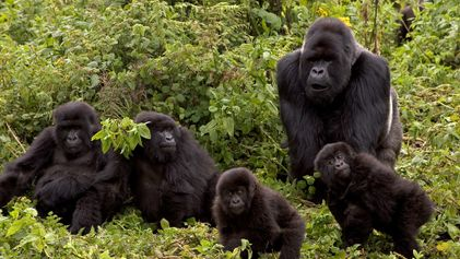 Una nueva investigación demuestra que los gorilas acicalan a sus muertos