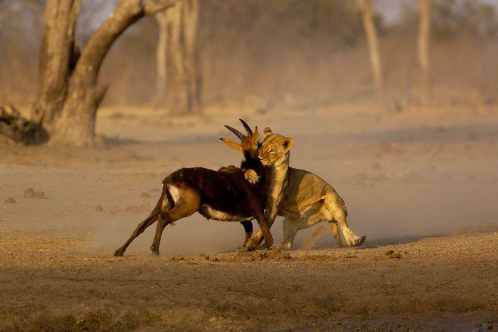 Una leona ataca a una gacela