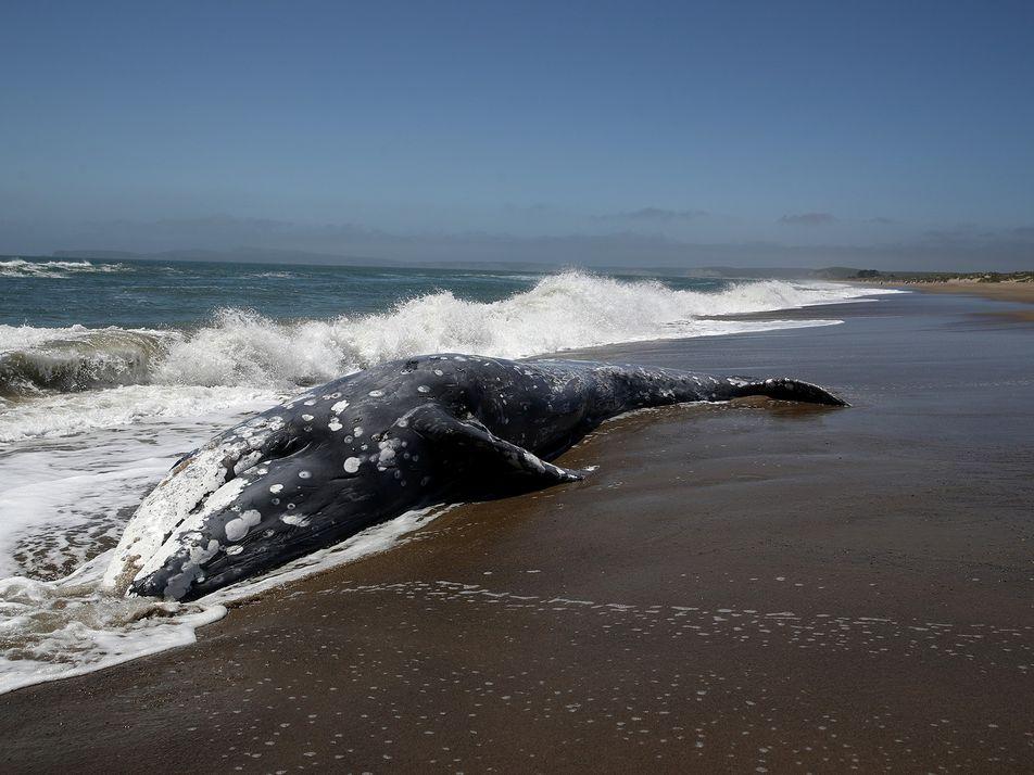 Las tormentas solares podrían desorientar a las ballenas y provocar varamientos