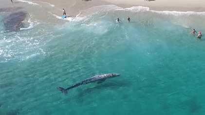 Una ballena gris sorprende a los bañistas al nadar junto a la orilla en una playa ...