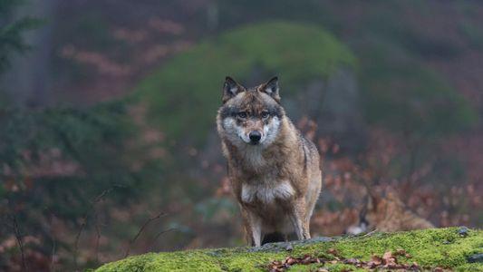 ¿Están los lobos de Chernóbil extendiendo sus mutaciones?