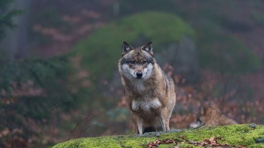 Lobo de Chernóbil