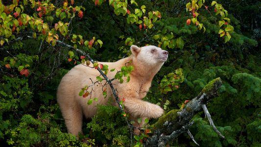 Las Naciones Originarias de Canadá luchan para proteger al oso Kermode de los cazadores