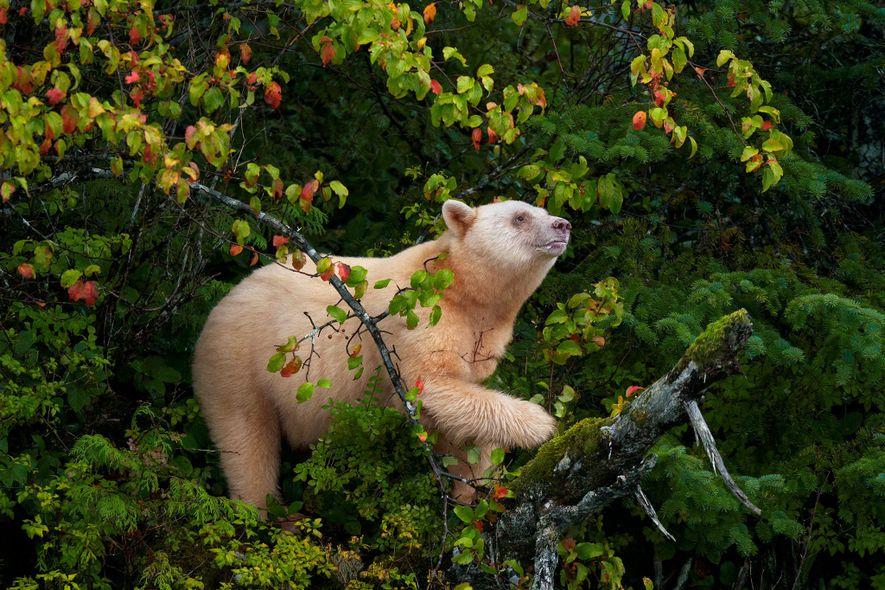 Un oso Kermode, también conocido como oso espíritu, trepa por un manzano silvestre para recoger fruta …
