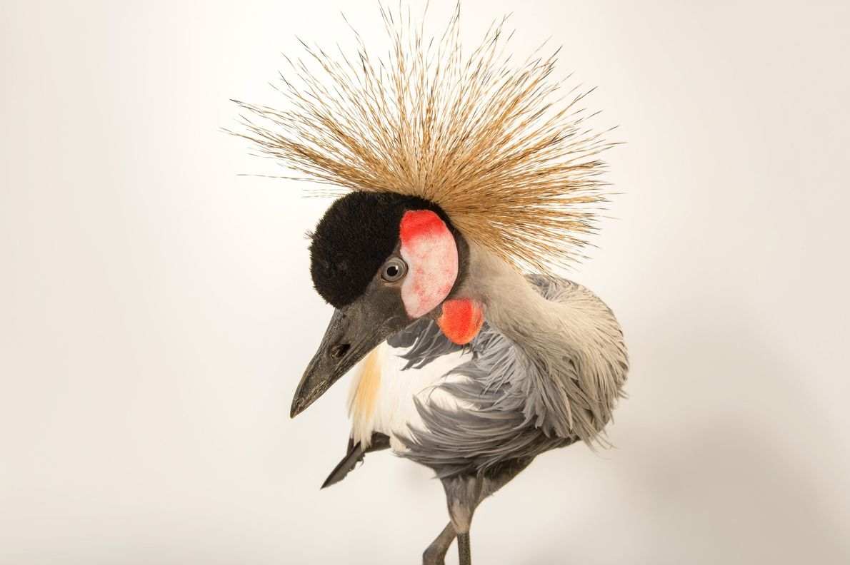 Grulla coronada cuelligrís