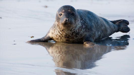 El canibalismo es más habitual de lo que se creía en las focas grises