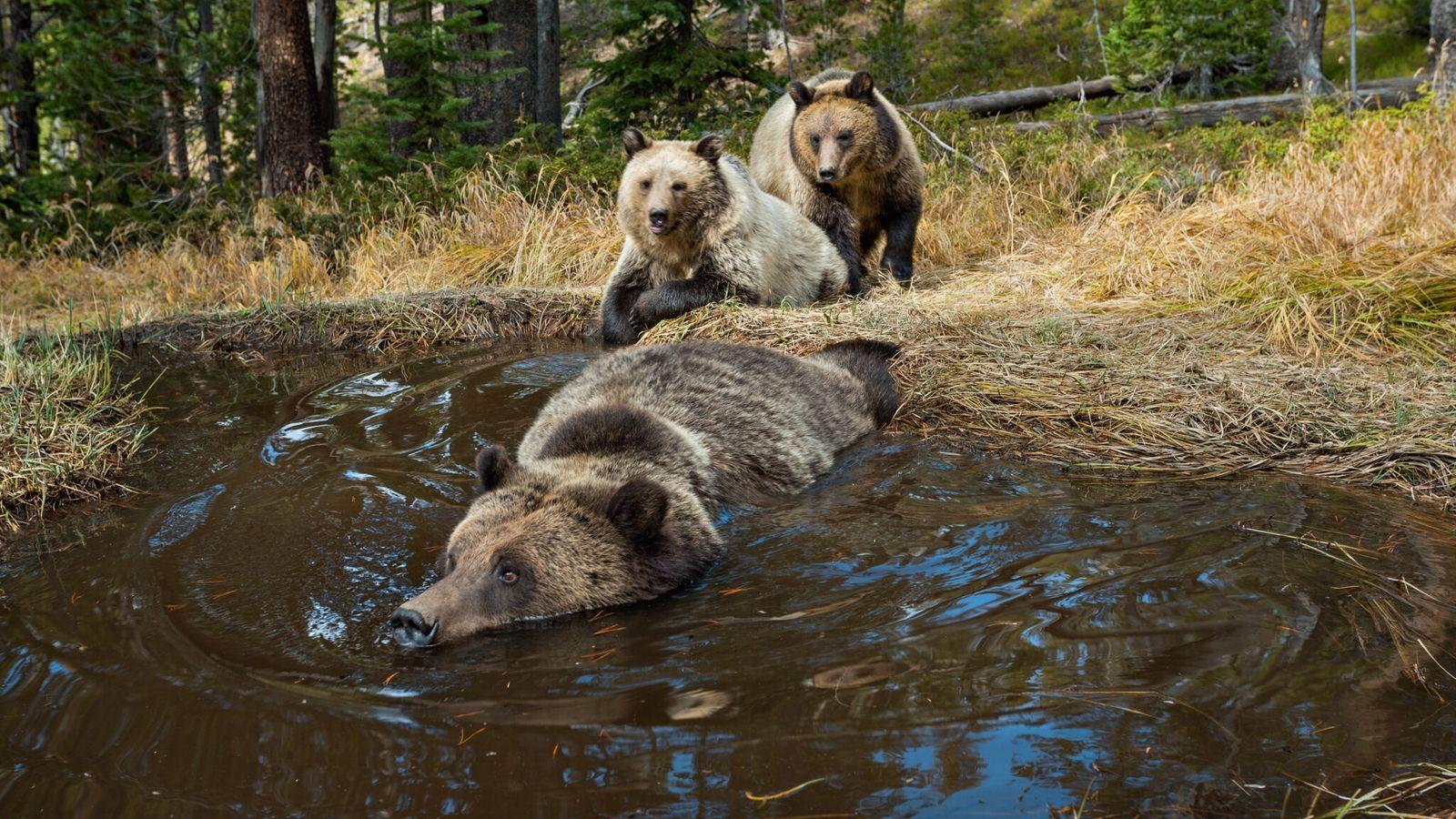 Imagen de unos osos grizzly bañándose