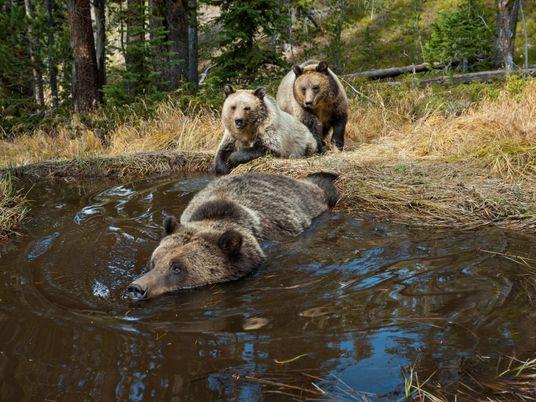 Los osos grizzly están recuperándose. Pero ¿podrán los humanos crear espacio para ellos?