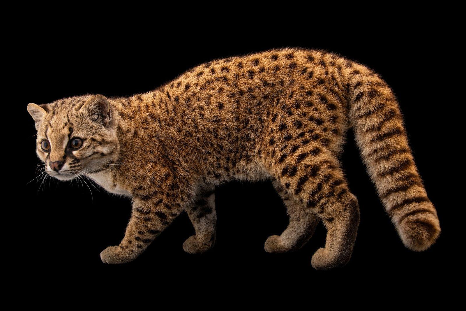 La güiña se ha convertido en el 10.000º animal fotografiado para Photo Ark
