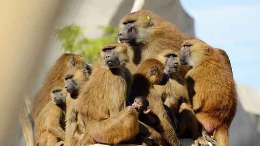 ¿Por qué se escaparon 52 papiones de un recinto del zoo de París?