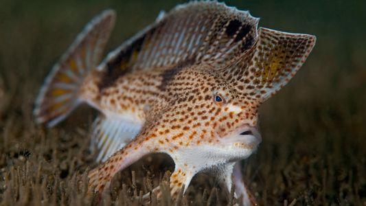 Declaran extinto al pez mano liso. ¿Podrán salvar a sus parientes?