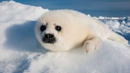 Descubierto un fragmento de plástico en el estómago del cadáver de una cría de foca