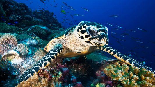 El comercio de caparazones de tortugas carey amenazadas es mayor de lo que se sospechaba