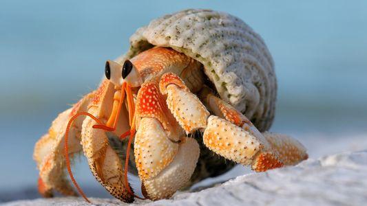 Los cangrejos ermitaños macho desarrollan órganos sexuales más grandes para no perder sus casas