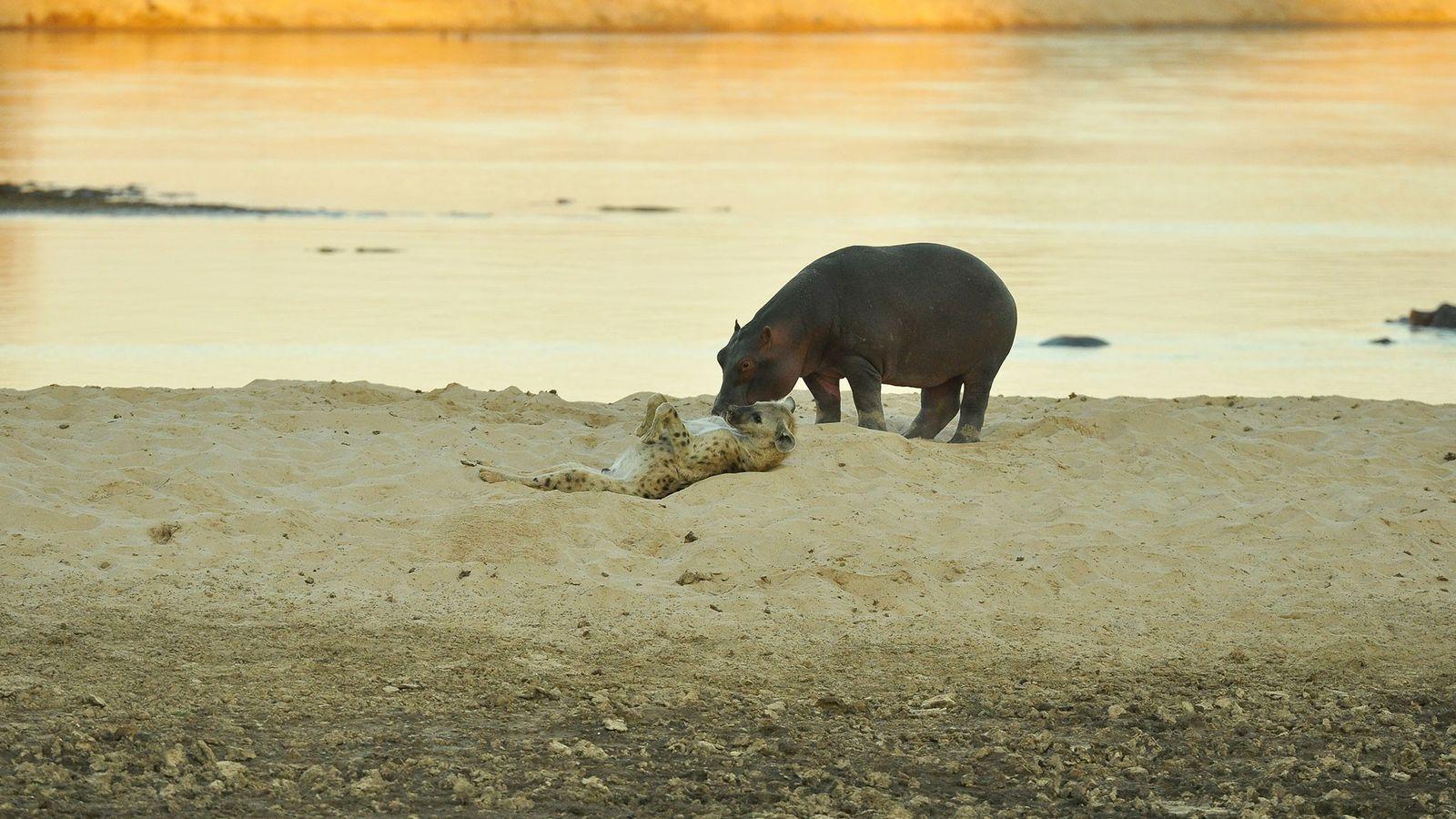 Hiena e hipopótamo