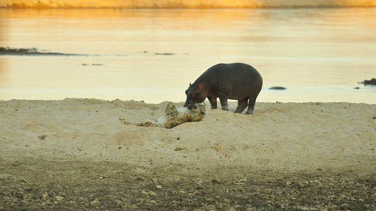 Un hipopótamo y una hiena se rozan los hocicos en un raro encuentro