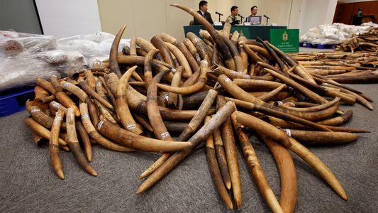 Buenas noticias para los elefantes: Hong Kong pondrá fin al comercio legal de marfil