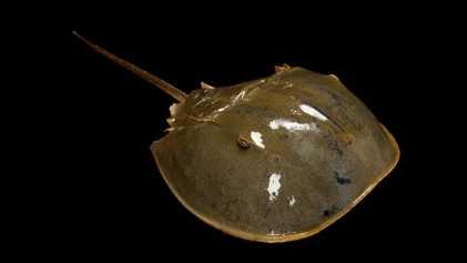 Los extraños cangrejos herradura son parientes de las arañas