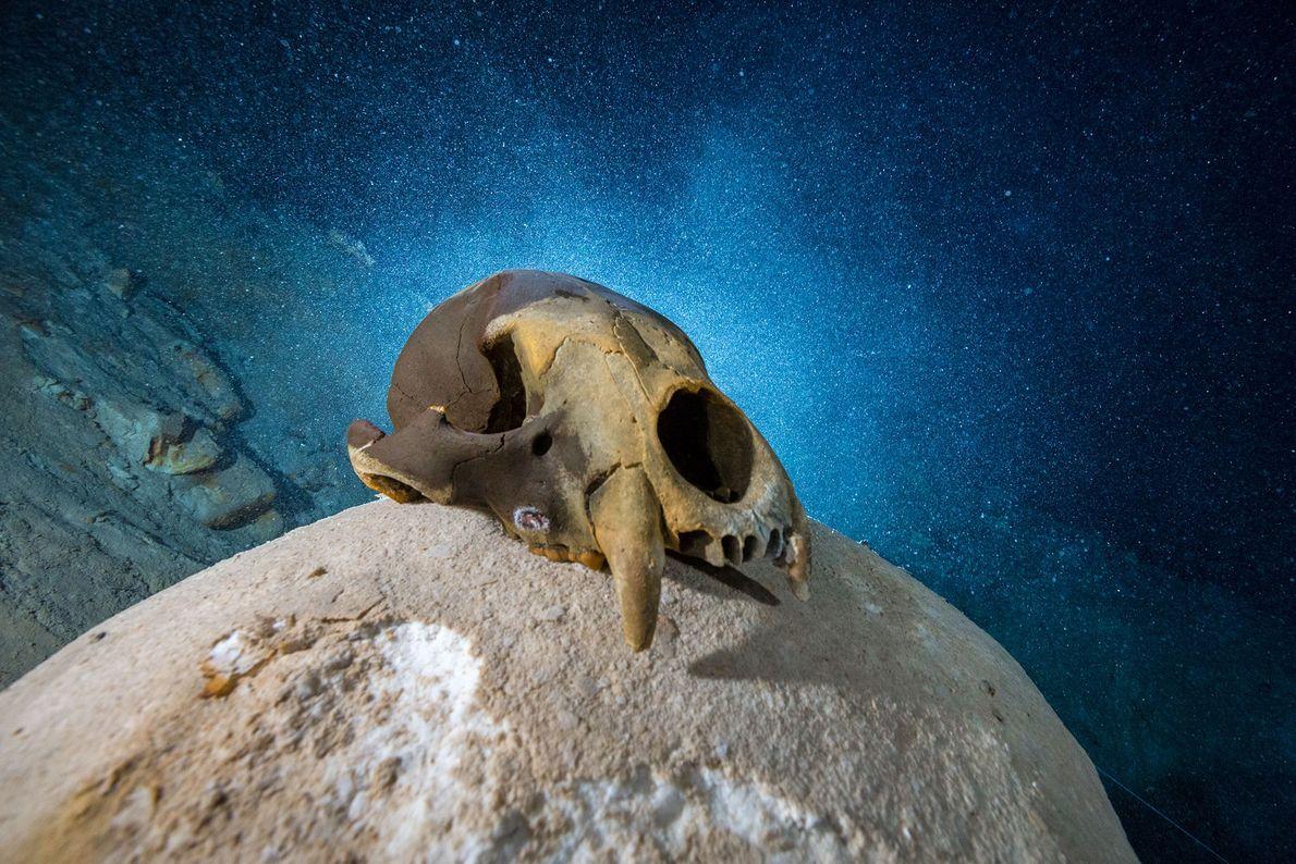 Un cráneo de oso primitivo