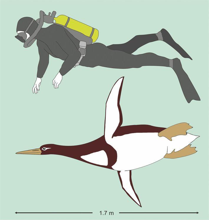 Pingüino gigante Kumimanu biceae