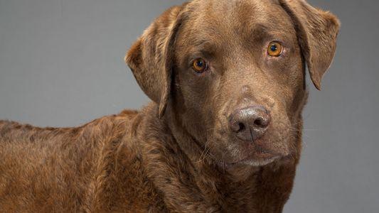 Siglos de cría selectiva han modificado los cerebros de los perros