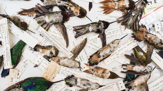 Dentro del misterioso mundo del comercio ilegal de colibríes